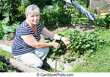 Senior adult woman holding red strawberries cultivated on...