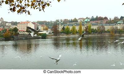 seagulls catch food - fly near riverside in prague