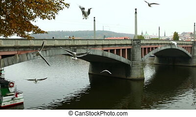 seagulls cry and catch food from tourists in prague -...