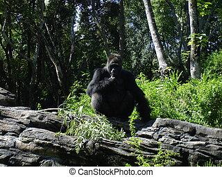 Gorilla - male silverback gorilla