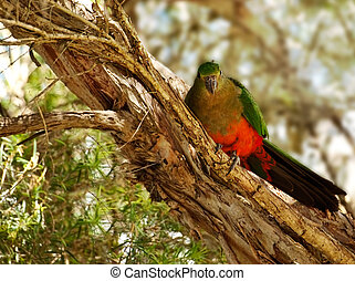 Spring Young Immature Australian King Parrot in a paperbark...