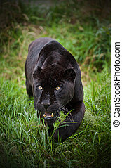 Black jaguar Panthera Onca prowling thorugh long grass -...