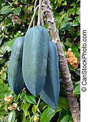 Fruits - Babaco Tree - The Babaco is a fruit grow in Ecuador...
