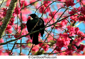 Tui Bird of New Zealand - Tui bird on a Japanese Cherry...