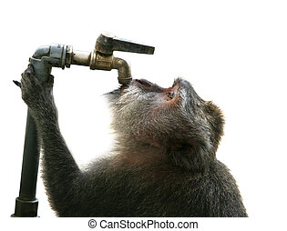 Thirst - The monkey drinking water. Park of monkeys in...