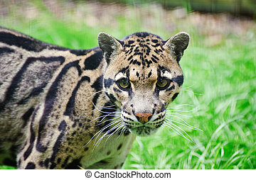 Clouded leopard Neofelis Nebulova big cat portrait - Clouded...