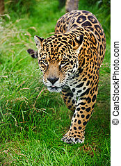 Stunning jaguar Panthera Onca prowling through long grass -...