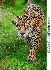 maravilloso, jaguar, Panthera, Onca, Merodear, por, largo,...
