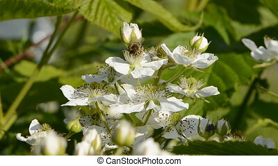 blackberry bush blossoms and bee - blackberry bush white...