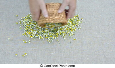 fresh chamomile medical blossoms