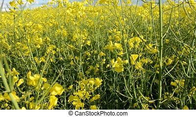 rapes blossoms in farm field - rapes blossoms in spring farm...