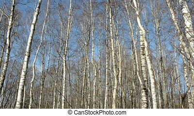 spring birches tree forest panorama