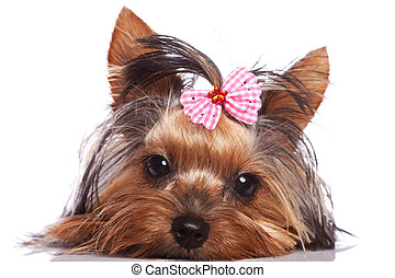 cute yorkshire terrier puppy dog looking a little sad