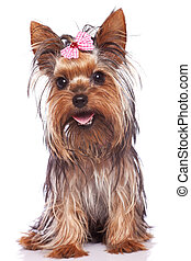 yorkshire terrier puppy dog sitting and panting - baby face...