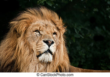 Portrait of King of the Jungle Lion Panthera Leo big cat -...