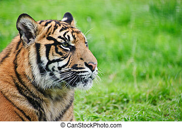 Portrait of Sumatran Tiger Panthera Tigris Sumatrae big cat...
