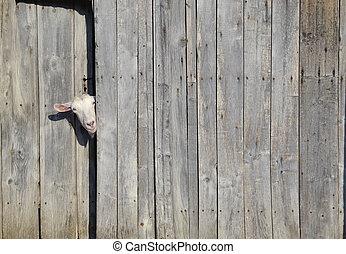 Curiosity - Curious goat peeking through the door of a...