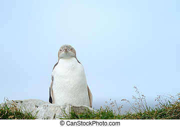 Yellow-eyed Penguin standing on cliff.