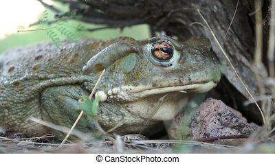 Colorado River Toad - Venomous Colorado River Toad, also...