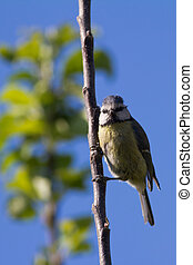 Blue Tit Cyanistes Caeruleus - A young blue tit clinging to...
