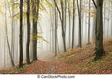 Misty autumn beech forest - Autumn beech forest on the...