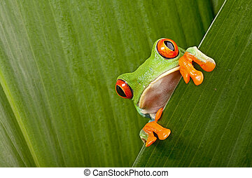 red eyed tree frog peeping curiously between green leafs in...