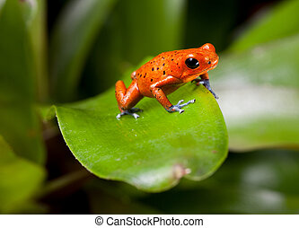 red poison dart frog Costa Rica - red frog with blue legs,...