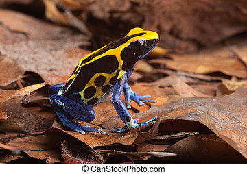 poison dart frog in Amazon rainforest tropical animal with...