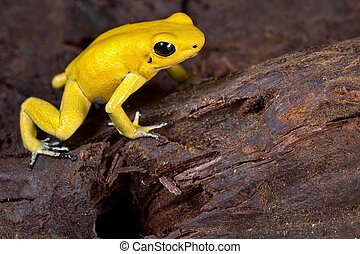 poison frog very poisonous animal with warning colors...