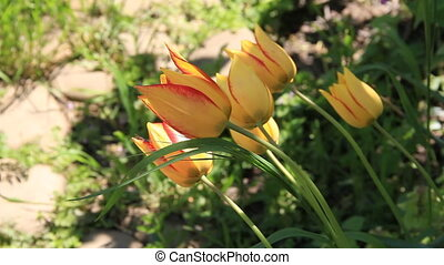 Yellow tulips with red border