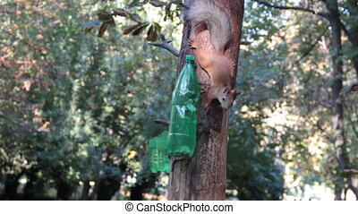 Hungry squirrel very careful eat nuts from bottle