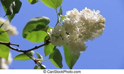 White flowers blossom lilac sprig
