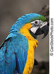 Blue and Yellow Macaw Ara ararauna