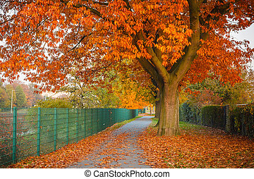 Red autumn oak tree - Image of the red autumn oak tree