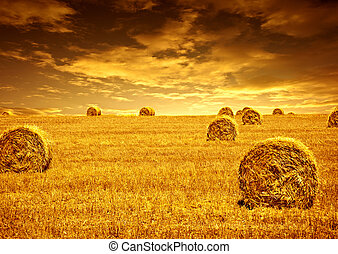 Wheat harvest time - Harvest time of wheat, beautiful...