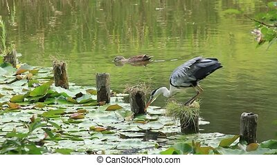 heron and duck - This is a heron and a duck.
