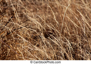 Bushveld Grass - Picture of Long Winter Bushveld Grass with...