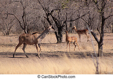 Kudu Ewe Walking Past Impala Ram - Kudu Ewe Walking Past...