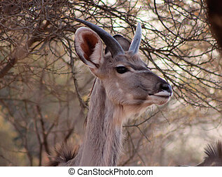 Young Kudu Bull with Small Horns - Young Kudu Bull with...