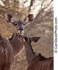 Rare Tender Moment Kudu Ewe and Foal - Rare Tender Moment...