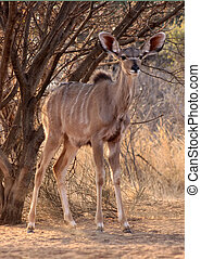 Alert Young Kudu Ewe Under Bushveld Tree - Alert Young Kudu...