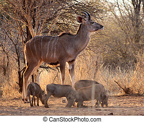 Young Kudu Bull with Warthogs in Bushveld