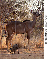Proud Kudu Ewe Pose with Warthog in Foreground