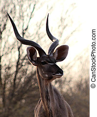 Kudu Bull Portrait - Portrait Picture of Large Kudu Bull in...