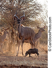 Proud Kudu Bull Guarding Herd - Proud Kudu Bull Guarding...