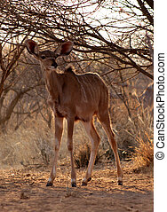 Young Kudu Ewe Foal Under Bushveld Tree - Young Kudu Ewe...