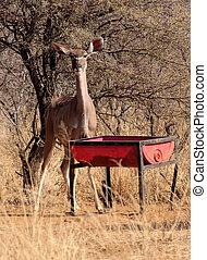 Kudu Ewe at Feeding Pit - Alert Kudu Ewe at Feeding Pit in...