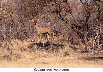 Alert Kudu Ewe Lookout on Rock - Alert Kudu Ewe Lookout...