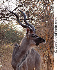 Kudu Looking Sideways - Large Kudu Bull in Bushveld Looking...