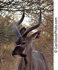 Kudu Under Bushveld Thorn Tree - Large Kudu Bull Under...